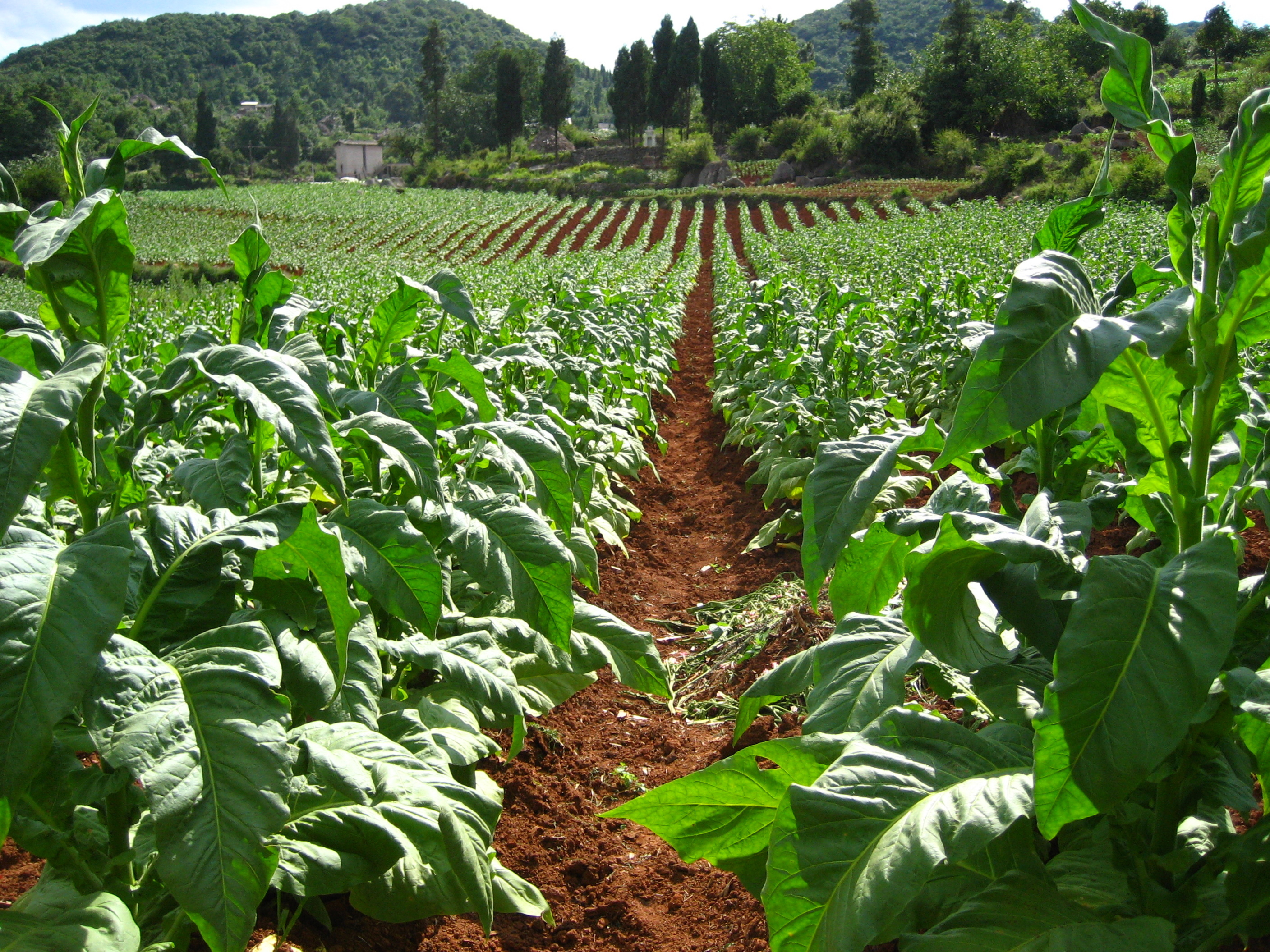 http://mpoverello.files.wordpress.com/2012/08/tobacco-farm.jpg