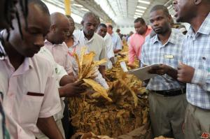 Zimbabwean auctioneers selling tobacco