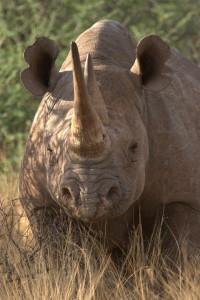 black-rhino-2