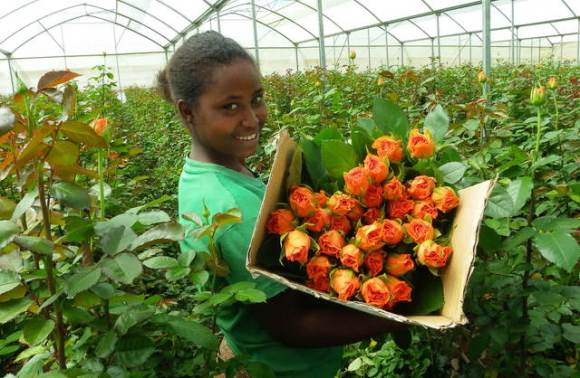 Revenues from flower exports have grown from $27.9 million dollars in 2002-03 to $178.3 million dollars in 2010-11. Photo Chellelek Files