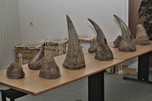 Rhino horns seized from smugglers by the Czech Customs Authority