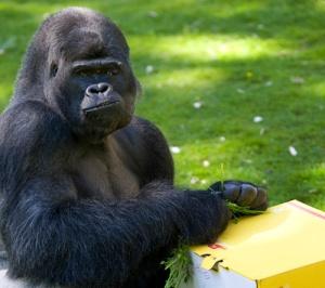 Gorilla-weekinbrief-big