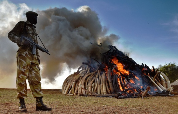 A Kenya Wildlife Services officer stands near a burning pile of 15 tonnes of elephant ivory seized in Kenya at Nairobi National Park [Picture - Carl de Souza - AFP]