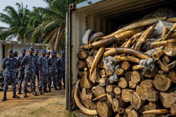 Smuggled Ivory